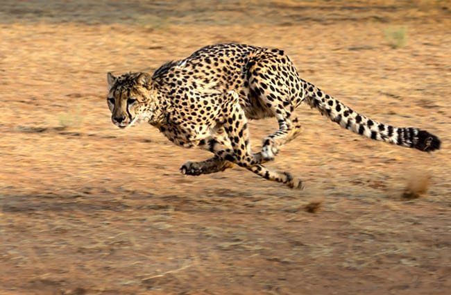 Cheetah running across the plain.
