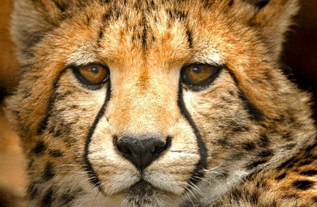 Closeup of a cheetah's face - notice the runny makeup marking of the eyes.