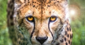 A stunning cheetah closeup.