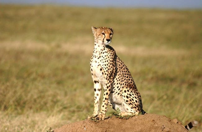 Young cheetah looking across the grassy plain.
