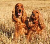 Two Purebred Cocker Spaniels In A Wheat Field. Photo By: (C) Cynoclub Www.fotosearch.com