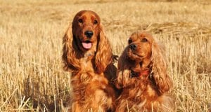 Two purebred cocker spaniels in a wheat field.