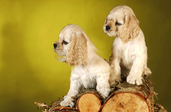 Cocker spaniel puppies on a pile of wood. Photo by: (c) Colecanstock www.fotosearch.com