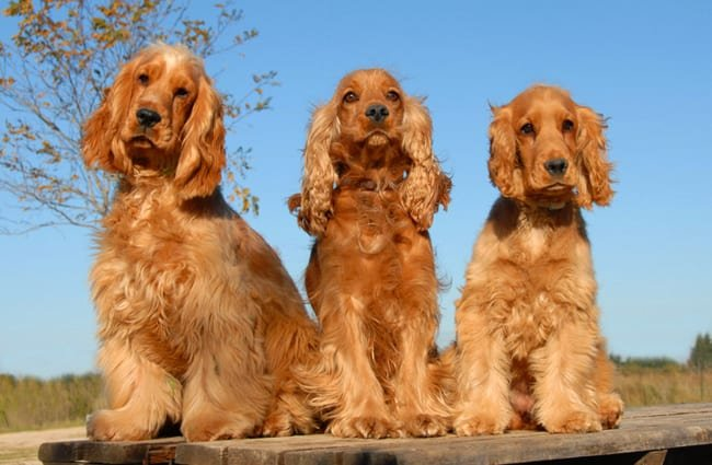 Purebred English cocker spaniels posing for a photo. Photo by: (c) cynoclub www.fotosearch.com