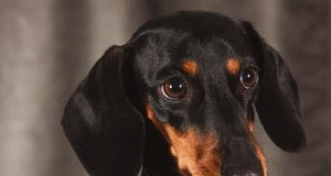 Closeup of a black and tan miniature dachshund.
