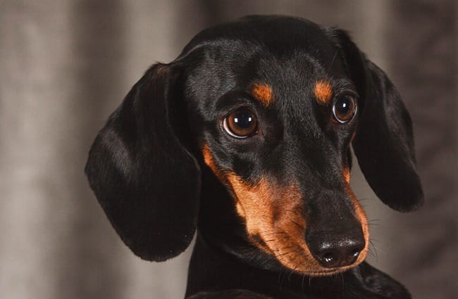 Dachshund Description Energy Level Health Image And Interesting Facts
