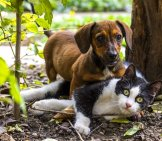 Dachshund Puppy Playing With A Cat Outdoors.