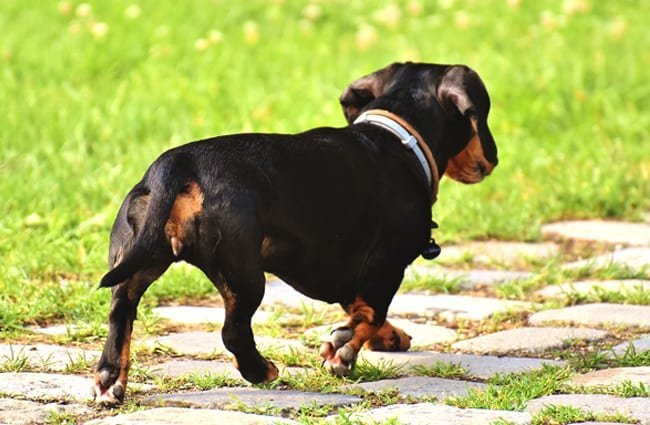 Rear view of a dachshund.