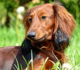Red Long-Haired Dachshund.