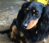 Black And Tan Long-Haired Dachshund.
