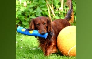 Long-haired dachshund playing with over-sized toys in the yard.