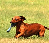 Red Dachshund Running In The Yard.
