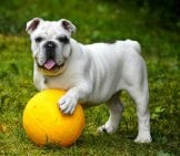 English Bulldog 7