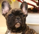 French Bulldog 8