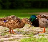 Mallard Drake And Hen Courting.