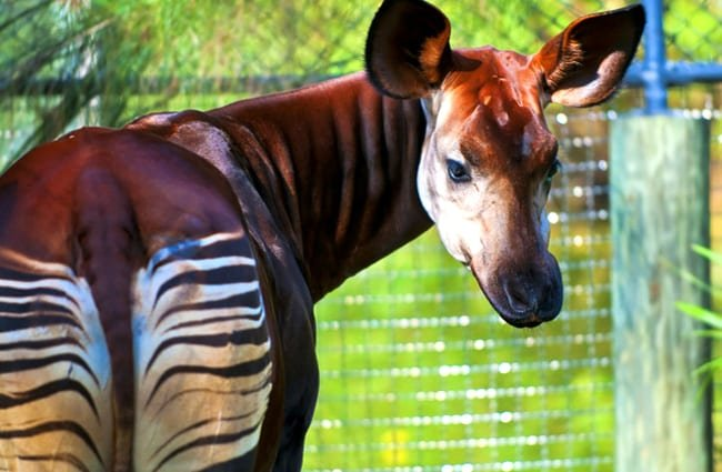 The okapi, looking back at the camera.Photo by: (c) kwiktor www.fotosearch.com