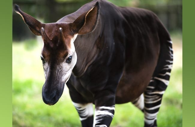 The okapi, known as the forest giraffe. Photo by: (c) MohanaAntonMeryl www.fotosearch.com