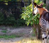 Okapi From The Rear, Showing Off Her Beautiful Stripes. Photo By: Nachans Https://creativecommons.org/licenses/by/2.0/