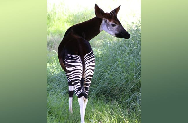 The okapi, with its beautiful, rich brown coat, and striped hind quarters. Photo by: Derek Keats https://creativecommons.org/licenses/by/2.0/