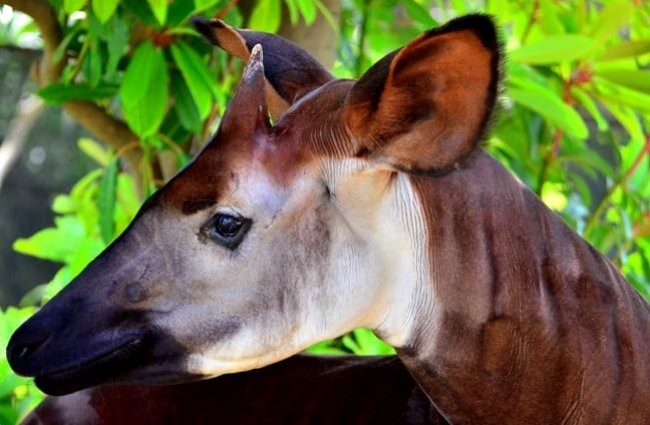 Closeup of an okapi face. Photo by: Toshihiro Gamo https://creativecommons.org/licenses/by/2.0/