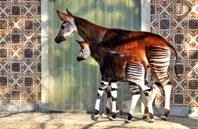 Okapi mother and baby. Photo by: Alan E https://creativecommons.org/licenses/by/2.0/