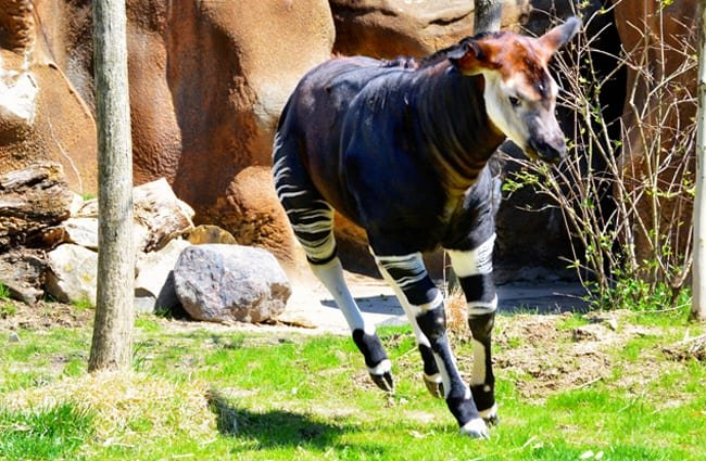 Okapi trotting around its zoo habitat. Photo by: PROCharles Barilleaux https://creativecommons.org/licenses/by/2.0/