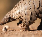 Pangolin In The Kalahari. Photo By: (C) 2630Ben Www.fotosearch.com