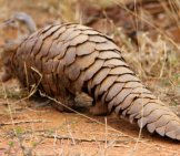 Ground Pangolin At Madikwe Game Reserve In South Africa. Photo By: David Brossard Https://creativecommons.org/licenses/by-Sa/2.0/