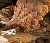 Pangolin Drinking At The Water Hole.photo By: Tikki Hywood Trusthttps://creativecommons.org/licenses/by-Sa/2.0/