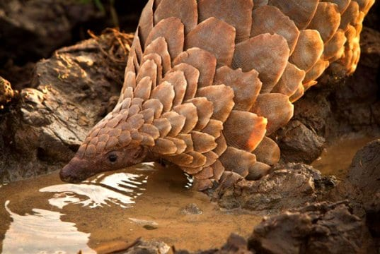 Pangolin drinking at the water hole.Photo by: Tikki Hywood Trust//creativecommons.org/licenses/by-sa/2.0/