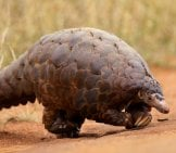 Large Pangolin Crossing A Trail. David Brossard Www.creativecommons.org/licenses/by-Sa/2.0/
