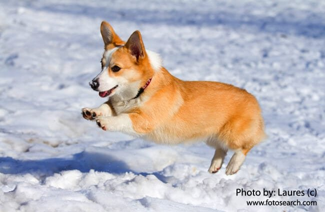 Pembroke Welsh Corgi Playing In The Snow