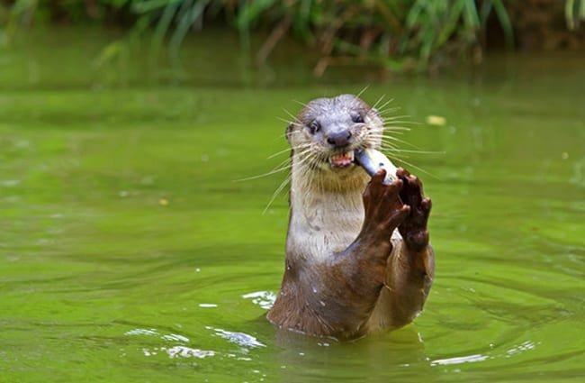 River otter eating a fish. Photo by: (c) kjorgen www.fotosearch.com