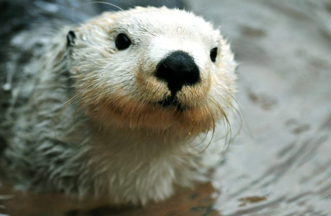 Closeup of an adorable arctic white sea otter.Photo by: (c) neelsky www.fotosearch.com
