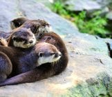 A Family Of River Otters Cuddled Together.
