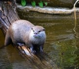 River Otter On A Log In The Water.