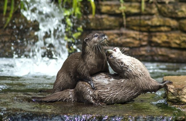 A pair of otters playing near the water's edge.