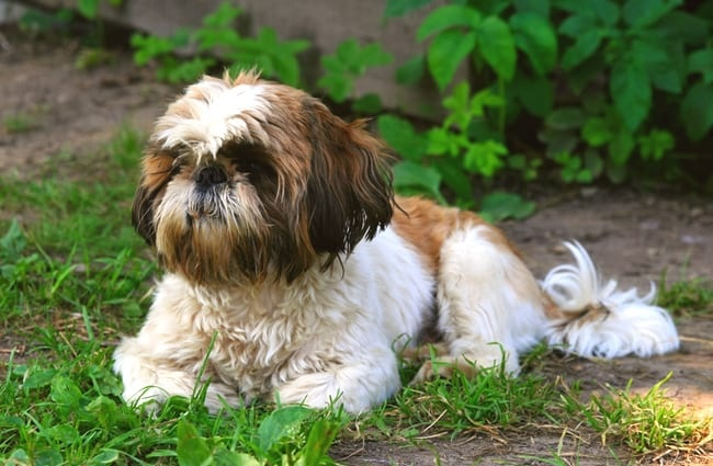 Shih Tzu Description Energy Level Health Image And Interesting