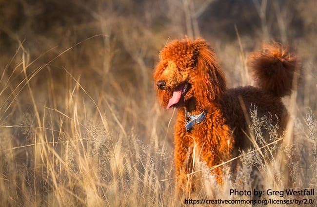 Stunning apricot standard poodle.