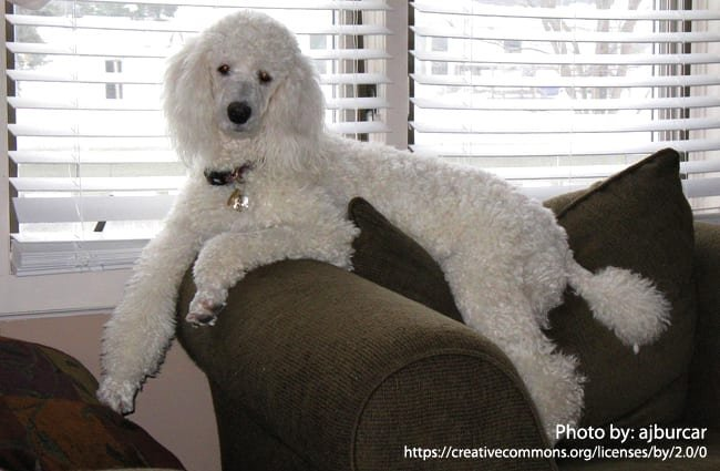 Poodle - Description, Energy Level, Health, Image, and Interesting Facts