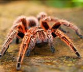 Tarantula In The Wild