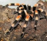 Mexican Orange-Kneed Tarantula