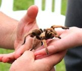 Pet Tarantula Being Handled By Father And Son