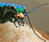 Tiger Beetle 1