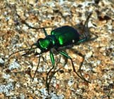 Tiger Beetle 3