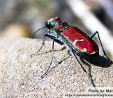 Tiger Beetle 6