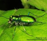 Tiger Beetle 7