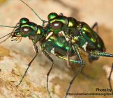 Tiger Beetle 8