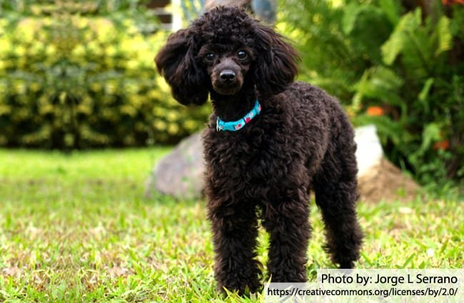 Poodle Description Energy Level Health Image And