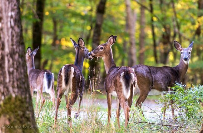Herd of whitetail deer. Photo by: Korona Lacasse https://creativecommons.org/licenses/by-nd/2.0/